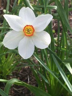 Valkoiset narsissit kevään ensimmäisiä