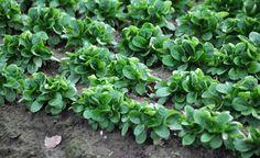 Feldsalat - ein gern gesehener Dinnergast. Hier erfahren Sie alles rund um den leckeren Salat – von der Aussaat bis zur Ernte