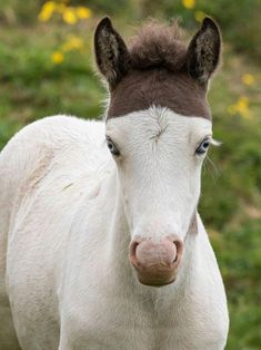 Medicine hat, highly prized by the Native American… – – Baak Turn Animals Most Beautiful Horses, Pretty Horses, Horse Love, Animals Beautiful, Rare Animals, Animals And Pets, Funny Animals, Cute Baby Horses, Cute Baby Animals