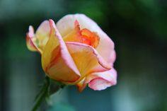 rose sherbet | by Karol Franks
