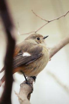 Daurian Redstart by mbomber2013