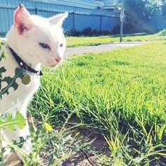 Bella enjoying the morning sun. #catsofinstagram #kitty #whitecatsofinstagram #waggasummer #suzspetservices - http://ift.tt/1HQJd81