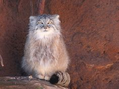 manul/pallas cat I don't know if it's the low ear position or the round pupils..pics of these freak me the f* out...