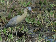 Whistling Heron Syrigma sibilatrix sibilatrix Fazenda Santa Tereza (Pantanal lodge), Mato Grosso state, Brazil. A unique South American heron. It's not particularly tied to water, and is most often seen in pastures.