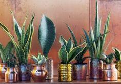 Wildernis: de 'hard-to-kill-plant' Sansevieria