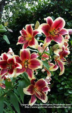 Oriental lilies in my garden, 5 feet high, very fragrant!