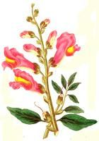 Snapdragon what Flower are you