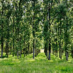 Flur – Sauber aufgereihte Schonung und doch ein Wald. Mathematisch gerasterte Natur auf grünem Teppich. 2014, MD   © www.piqt.de   #PIQT