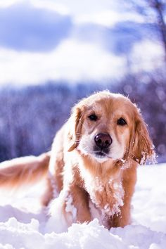 beautiful photo of a Golden Retriever walking in the snow