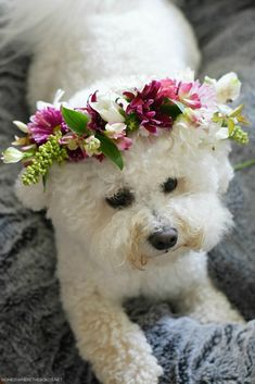 How to Make a Flower Crown for You or Your Pup! | ©homeiswheretheboatis.net #flowers #dogs #bichonfrise My Flower, Flower Vases, Flower Power, Flowers Last Longer, Make A Crown, Hand Tied Bouquet, Spray Roses, Seed Pods, Bichon Frise