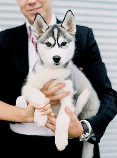 Siberian Husky #Puppy #Dogs