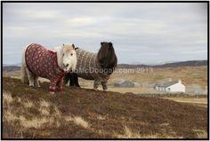 Shetland Ponies wearing cardigans <3