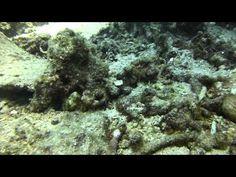 Video Sweet Lips Juvenile   Pata Negra Alona Panglao Bohol Bohol, Scuba Diving, Lips, Island, Beach, Sweet, Painting, Diving, Candy