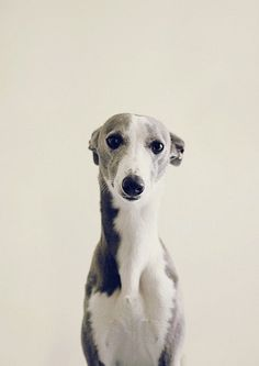 greyhound by e-liza, whippet