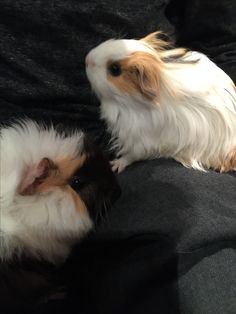 Clover and Cleo the guinea pigs! (Clover is spiky and Cleo is smooth)