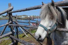 Jigger the Newfoundland Pony patiently awaits his new barn at the Change Islands Newfoundland Pony Sanctuary Inc..