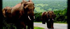 Ellies at Addo Elephant NP