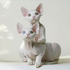 Sometimes they are my favorite cats in the world, the Devon Rex.