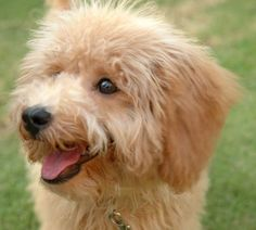 Coffee the Toy Poodle