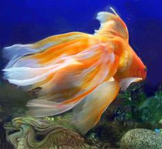 Veil tail goldfish