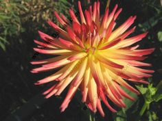 Weston Spanish Dancer.jpg (1024×768) from sids dahlias