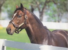 famous race horses | ... CIGAR - FAMOUS THOROUGHBRED RACE HORSE POSTCARD - HORSE OF THE YEAR