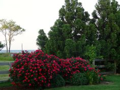 knock out roses.  I got a knock out rose bush for my birthday fall of 2014.  They exploded with blooms this spring 2015!! (this is not my actual bush, just a pic I found)