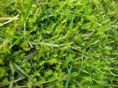 Moss close-up  http://unpiccologiardino.blogspot.it/2014/01/muschio-in-giardino-perche-no.html