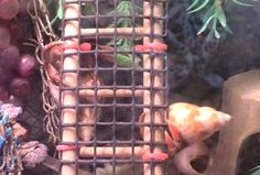 Turn a small ladder into a ramp for your hermit crabs! Get a small bird ladder from a pet shop. Measure the ladder against a piece of coconut fiber and cut the fiber to the width needed. Hermit Crab Cage, Hermit Crab Habitat, Hermit Crabs, Diy Tank, Wooden Ladder, Small Birds, Cute Creatures, Betta Fish, Pet Shop