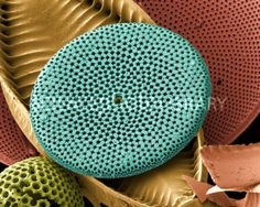 Diatoms, SEM - Stock Image B305/0371 - Science Photo Library The diatoms are a group of photosynthetic, single-celled algae containing about 10,000 species. They form an important part of the plankton at the base of the marine and freshwater food chains. The characteristic feature of diatoms is their intricately patterned, glass- like cell wall, or frustule. The frustule often has rows of tiny holes, known as striae.