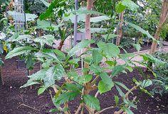 Voacanga africana – Voacangastrauch afrikanische Ritualpflanze