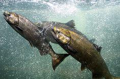 Columbia River Salmon | Hanford Reach National Monument | Washington