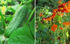 Cucumbers Nasturtiums http://www.rodalesorganiclife.com/garden/26-plants-you-should-always-grow-side-by-side/slide/4