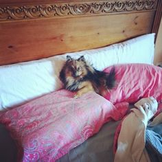 Hoy no me puedo levantar... #pomeranian #cute #dogsofinstagram #instadog #spitz #dog #love #pom #petstagram  #dogstagram #lulu #fluffy #puppy #pet #luludapomerania  #dogoftheday #cane #instapom #pomstagram #pompom #instapuppy #germanspitz #boutiquedenancy