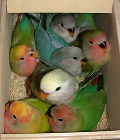 crazyanimalz: Peachfaced Lovebirds
