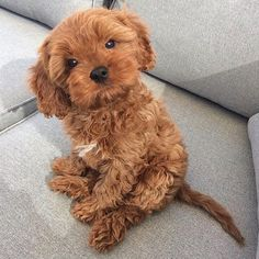 Cavapoo (Cavalier King Charles x Poodle)Puppies: Information, Characteristics, Facts, Videos - DOGBEAST Super Cute Puppies, Baby Animals Super Cute, Cute Baby Dogs, Cute Little Puppies, Cute Dogs And Puppies, Cute Little Animals, Cute Funny Animals, Doggies, Small Puppies