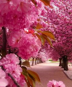Gorgeous pink trees in bloom