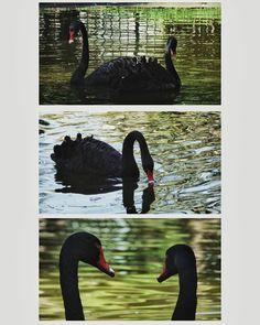 #BlackSwan #bird #Animals #lake  #animal #Beak  #Red  #swan  #animalthemes  #black #blackcolor  #nature  #water  #outdoors  #symmetry #closeup #collage #cigni #birds #foto #fotografia #parco #photography #myphotography