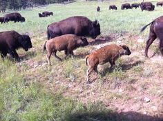 Vanuit onze camper in Custer State Park, South Dakota, USA