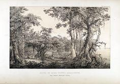 """carl friedrich philipp von martius - illustration plate from """"flora brasiliensis"""""""