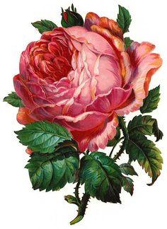 Vintage Abbildungen, Vintage Rosen, Vintage Ephemera, Vintage Prints, Vintage Holiday, Vintage Artwork, Art Floral, Floral Theme, Floral Design