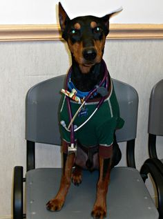 Jackson is a German Pinscher who is ready and waiting in an exam room for our dermatology appointments today!