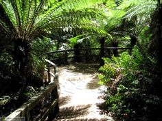 The lovely out of this world rainforest walk at Maits Rest, just a drive away from Sea Zen. In winter with a misty rain you can almost imagine the dinosaurs peeking from behind the giant tree ferns. Tree Fern, Giant Tree, Forest Trail, Landscape Architecture Design, Tropical Landscaping, Luxury Spa, Out Of This World, Garden Bridge, Zen