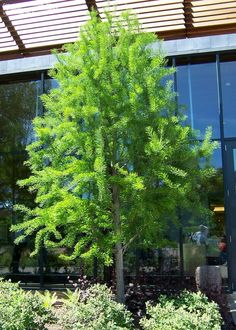 Full size picture of Bald Cypress 'Shawnee Brave' (Taxodium distichum)