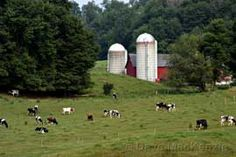 Barns and cows!