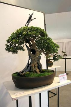 best olive bonsai inspiration images on tree for office art trees