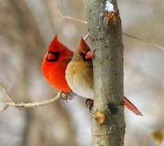 For The Birds. This group is dedicated to those lovely flying creatures we call birds. Please share with us your photos and a name. Pretty Birds, Love Birds, Beautiful Birds, Animals Beautiful, State Birds, Bird Pictures, Cardinal Pictures, Cardinal Birds, All Nature