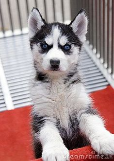 Siberian Husky Puppy by Gan Hui via Dreamtime #PuppyHouses