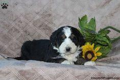 Tulip, Bernedoodle Puppy