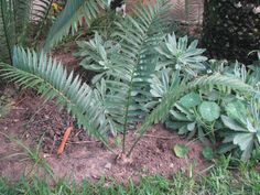 Encephalartos Msinganus: South African cycad that is very slow growing and is valued at R120 a cm